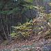 Erstaunlicherweise hat es in diesem schattigen Wald oberhalb von Eyholz viele Edelkastanien