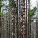 The effects of the bark beetle