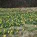 Daffodils at the Narzissenwiese