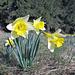 Daffodil (Narzisse)