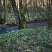 Daffodils are bigger near the stream