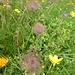 Blumenreigen zum Abschluss 7 - überraschend finden wir oberhalb Birchboden diese federig behaarten, Schopf bildenden, Griffel vor