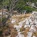 im mittleren Teil geht unter, und an Kiefersträuchern vorbei und über Felsen hinunter zur Alp Mans.