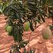 und Mango's an jeder Ecke