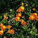 Blüten am Wegesrand, ein schöner Farbfleck
