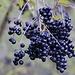 Früchte vom Gewöhnlichen Liguster (Ligustrum vulgare).