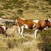 Alpweide mit Mutterkühen, zudem ist in der Gegend grad noch Jagdsaison