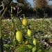 Wilde Tomaten in allen Sorten am Lech /  varie sorte di pomodori selvatici sul Lech