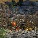 Weitere Tomaten in den Steinen mitten auf einer Insel im Lech. Wer kann mir endgültig und richtig erklären, wo die Samen herkommen? / altri pomodori selvatici sulla ghiaia su una isola in mezzo al fiume Lech. Chi è capace di dirmi da dove provengono i semi?