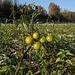 Wilde Tomaten am Lech / pomodori selvatici sul Lech