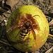 Hornisse auf Fallobst / calabrone su frutti cascaticci