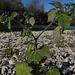 Da staunte ich nicht schlecht:  Kapstachelbeere, Andenbeere, Physalis peruviana am Lech / mi sono stupita vedere questa pianta sulla ghiaia al fiume!