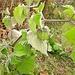 Transplantierte Physalis peruviana