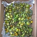 Tomatenernte / raccolta dei pomodori selvatici