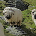 . . warme, saubere Wolle haben sie ja