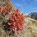 herbstliche Heidelbeerblätter