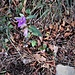 Campanula trachelium L. Campanulaceae  Campanula selvatica Campanule gantelée Nesselblättrige Glockenblume