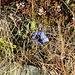 Ein Nachzügler-Enzian versteckt sich im trockenen Gras.