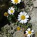 Überraschung am unteren Hörnligrat Anfangs September: blühende Alpen-Wucherblumen