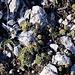 Monte Costa Ceraso - An etlichen Stellen, wie auch hier im unmittelbaren Gipfelbereich, haust der Wurz (Sempervivum).