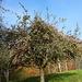es gab wohl dieses Jahr zu viele Äpfel. Der Baum hängt noch voll.