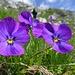 wunderschöne Alpenflora ...