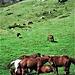 Cavalli nella Valle di San Pellegrino.