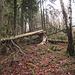 La cresta nella pineta da Pozzopiano 981 mt al Monte Nudo 1235 mt ben malconcia da parecchi tronchi d'albero abbattuti da maltempo.
