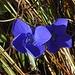So schön blau: Gewöhnlicher Fransenenzian (Gentianopsis ciliata) / bello blu!