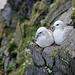 Eissturmvogel (Fulmarus glacialis)