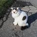 eine Appenzeller Katze
