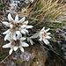 während des Abstiegs erfreuen uns erst die edlen Alpenblumen ...