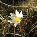 Alpen-Anemone (Pulsatilla alpina)
