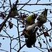 Con lo zoom della fotocamera, scopro che sono molto colorati e beccano i semi delle betulle