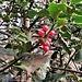 Ruscus aculeatus L. Asparagaceae  Ruscolo pungitopo Petit houx, Fragon piquant Mäusedorn