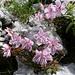 Zwerg-Alpenrose (Rhodothamnus chamaecistus)