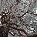 Schwarzföhre (Pinus nigra) im Winterkleid auf dem Spitzenflüeli (1037m).