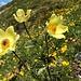 gelb strahlen die Alpenblumen weiter ...