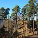 Ein schöner Trockenwald mit grossen Schwarzkiefern steht auf der Geländekuppe P.778m oberhalb Waldenburg.