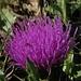 Ende Oktober freuen einen die schönen Blumen noch viel mehr: Stengellose Kratzdistel (Cirsium acaule) mit Tautröpfchen<br /><br />Cirsium acaule con gocce d`acqua. La fine di ottobre i fiori mi piacciono ancora di più.<br /><br />