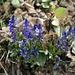 die Voralpen-Kreuzblume entfaltet sich farbenfroh