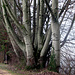 mächtige Bäume