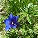 auf der Wasserbergfirst-Südseite angelangt, erfreut uns erst eine edle Alpenblume ...