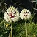 wenig bekannte, doch filigrane und schöne, Blume