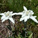 während des ausgesetzten Aufstiegs zum Grat überraschen uns noch weitere Alpenblumen: