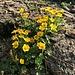 ... mit weiterer schöner Alpenflora ...