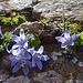 ... dieser schönsten Glockenblumen