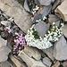 schönste rosa und weisse Blümchen in der Steinwüste