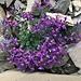 weitere farbenprächtige Alpenflora 1