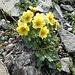weitere farbenprächtige Alpenflora 2